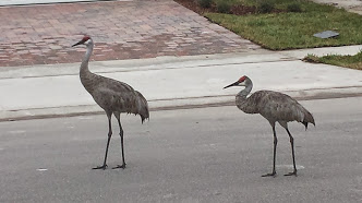 Sandhill Cranes, my new neighbors!