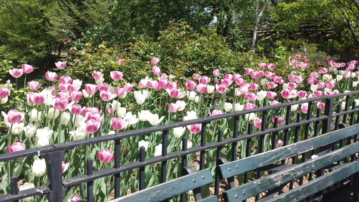 Tulips in Central Park!